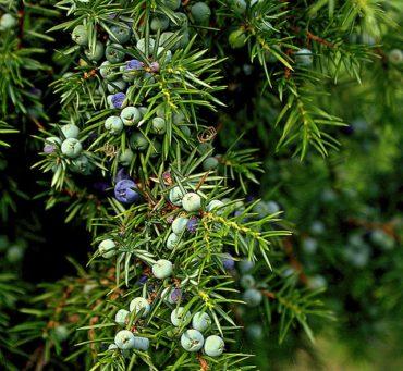 juniper berries on the bush